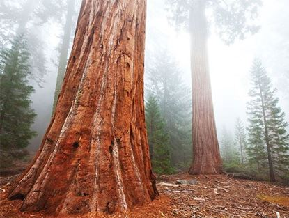 Picture of Regal Sequoia
